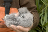 Fork-tailed Storm-Petrel chick, Ulak Island