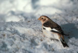 Snow  Bunting, non breeding plumage