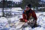 Dr. Doug Smith checks the new radio collar on a tranquilized wolf