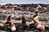 Steller Sea Lions at Haulout