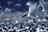 Sandwich Tern Carrying Food