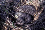 Laughing gull chicks in nest