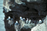 Black-legged kittiwakes and murres