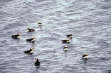 Horned puffins on the water