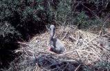 Young Brown Pelican in Nest