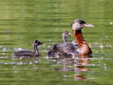 Red-necked Grebe with Young