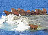 Walrus on Bering Sea Ice
