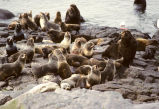 Fur Seal Colony at Haulout