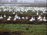 Birds and waterfowl in field after prescribed burn