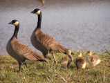 Cackling Canada goose brood
