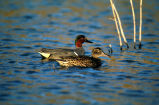 Green-winged teal -pair