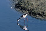 Black-necked stilt drinking from lake