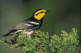Golden-cheeked Warbler (=wood)