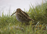 Common Snipe or Wilson's Snipe