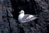 Northen Fulmar light phase