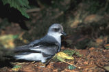 Fork-tailed Storm Petrel.