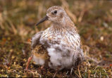 Least Sandpiper and chick