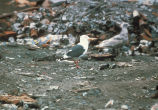 Slaty-backed Gull, Attu 1985