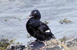White-winged Scoter, Adak Island