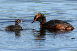Horned Grebe with Chick