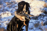 WO 2982 Labrador Retriever with Drake Mallard