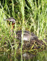 Red-necked Grebe Nest