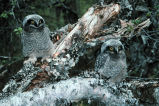 Northern Hawk Owl Chicks