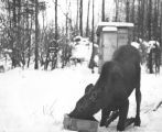 Moose Calf Transplanted to Copper Flats