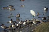 Pintails and Snowy Egrets