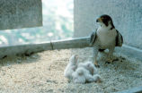 Peregrine Falcon Chicks, Female