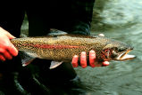 Rainbow Trout in hand at Gechiak Creek