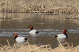 Canvasback drakes