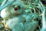 Merlin chicks in nest