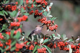 Cedar waxwing with holly