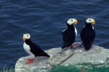 Horned Puffin Trio