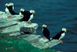 Horned Puffins on Puffin Island