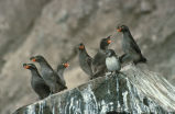 Crested Auklet Group on Cliff Rocks
