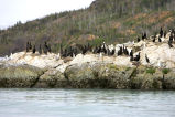 Cormorants on Sea Rock