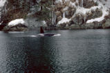 Orca in Prince William Sound