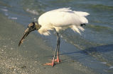 Wood stork feeds on the shore