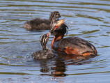 Horned grebe feeding chick