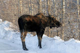 Moose In U.S. Fish and Wildlife Parking Lot
