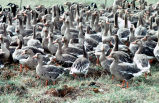 Flightless White-fronted Geese in Pen