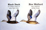 Black duck and hen mallard