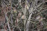 Cedar waxwings on branches