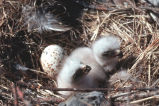 Rough-legged Hawk Chicks in Nest