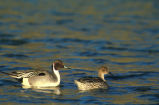 Northern pintail -pair