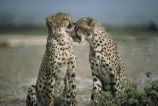 Two cheetahs sitting face to face