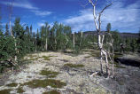 Kanuti Refuge stunted birch on a dry site