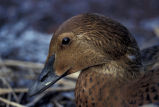 King Eider female, oiled